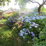 Hortensienbeet in voller Blüte.