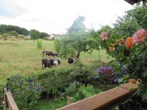 Nachbars Kühe nebenan